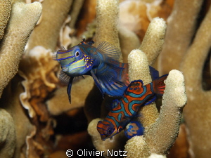 Very shy fishes and difficult to photograph since they re... by Olivier Notz 